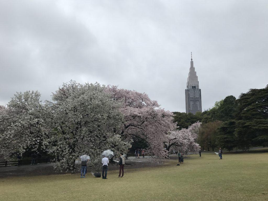 Cherry blossom in Shinjyuku Gyoen