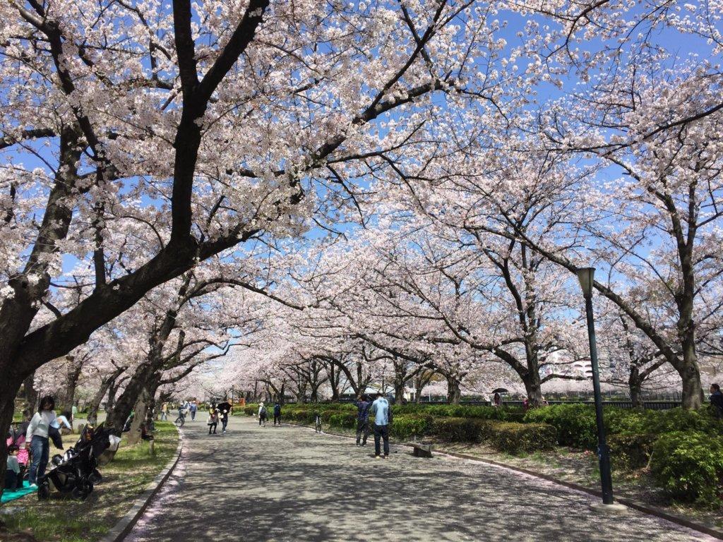 People picnic and walk beneath the cherry blossoms around Sakuranomiya