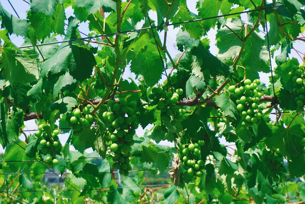 In summer, you might pass some grapevines.