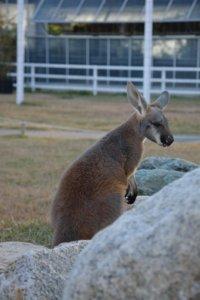 Kangaroo Kobe Animal Kingdom