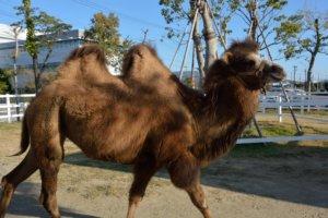 Camel Kobe Animal Kingdom