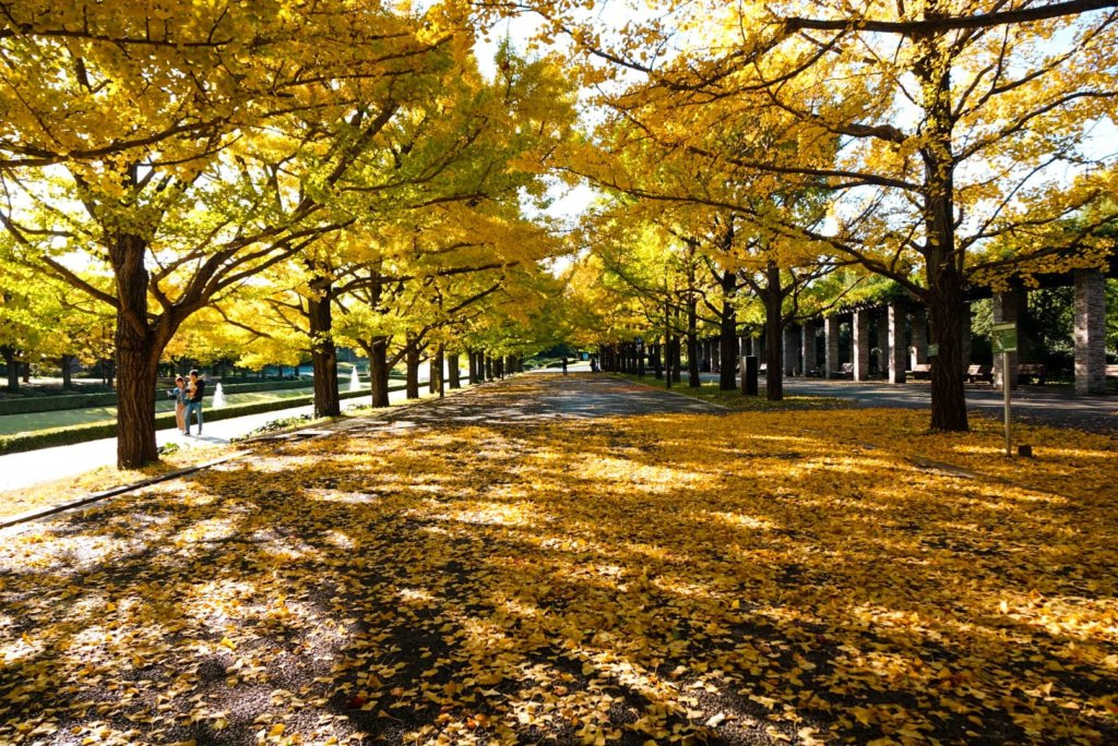 beautiful yellow glow from all the leaves changing color - Showa Kinen Park